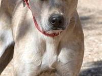 Australian Cattle Dog (Blue Heeler) - Enzo - Medium -