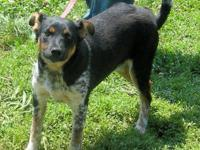 Australian Cattle Dog (Blue Heeler) - Falon - Small -