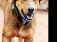 Australian Cattle Dog (Blue Heeler) - Gummi Bear -