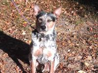 Australian Cattle Dog (Blue Heeler) - Harlan Adoption