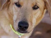 Australian Cattle Dog (Blue Heeler) - Harlee - Large -
