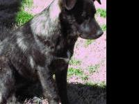 Australian Cattle Dog (Blue Heeler) - Heidi - Large -