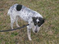 Australian Cattle Dog (Blue Heeler) - Jack/foster -