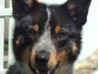 Australian Cattle Dog (Blue Heeler) - Jack - Medium -