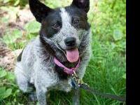 Australian Cattle Dog (Blue Heeler) - Jackson Blue -