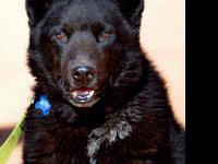 Australian Cattle Dog (Blue Heeler) - Jacobe - Large -