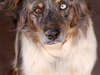 Australian Cattle Dog (Blue Heeler) - Jacobe - Medium -
