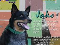 Australian Cattle Dog (Blue Heeler) - Jake - Medium -