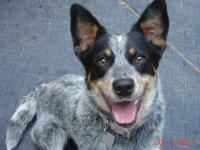 Australian Cattle Dog (Blue Heeler) - Kameo - Medium -