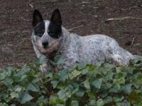 Australian Cattle Dog (Blue Heeler) - Kip - Medium -