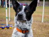 Australian Cattle Dog (Blue Heeler) - Lily - Medium -