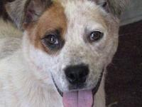 Australian Cattle Dog (Blue Heeler) - Lindsay - Medium