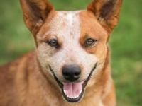 Australian Cattle Dog (Blue Heeler) - Lucky - 39954 -