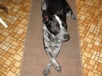 Australian Cattle Dog (Blue Heeler) - Lucy - Medium -