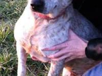 Australian Cattle Dog (Blue Heeler) - Mama - Medium -