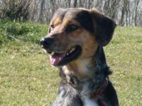 Australian Cattle Dog (Blue Heeler) - Marshall - Medium