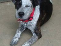Australian Cattle Dog (Blue Heeler) - Maxwell - Medium