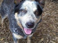 Australian Cattle Dog (Blue Heeler) - Nellie - Medium -