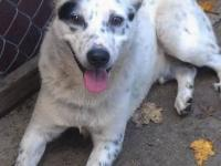 Australian Cattle Dog (Blue Heeler) - Oscar Is Pending!