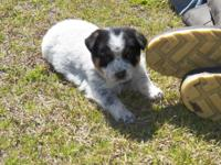 Blue Heeler new puppies available for sale, birthed