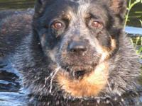 Australian Cattle Dog (Blue Heeler) - Pepper - Medium -
