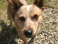Australian Cattle Dog (Blue Heeler) - Pepper - Medium -