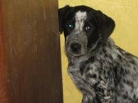 Australian Cattle Dog (Blue Heeler) - Peppie - Large -
