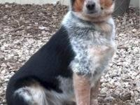 Australian Cattle Dog (Blue Heeler) - Priscilla -