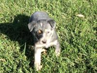 Heeler pups for sale...come from working parents. Nice