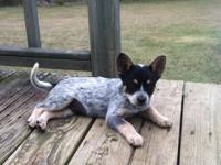 Cute and lovable Blue Heeler puppies looking for a