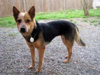 Australian Cattle Dog (Blue Heeler) - Rabbit - Medium -
