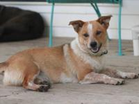 Australian Cattle Dog (Blue Heeler) - Riley, Roger, &