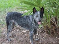 Australian Cattle Dog (Blue Heeler) - Rin - Small -