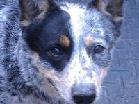 Australian Cattle Dog (Blue Heeler) - Roscoe P Is
