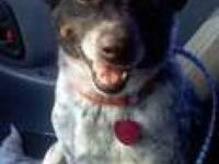 Australian Cattle Dog (Blue Heeler) - Rue - Medium -