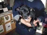 Australian Cattle Dog (Blue Heeler) - Sasha - Medium -