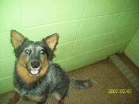 Australian Cattle Dog (Blue Heeler) - Scrappy - Medium