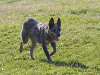 Australian Cattle Dog (Blue Heeler) - Shadow - Medium -