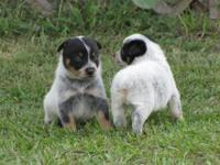 Australian Cattle Dog (Blue Heeler) - Shane 11596 -