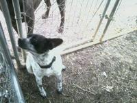 Australian Cattle Dog (Blue Heeler) - Sheba - Medium -