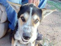 Australian Cattle Dog (Blue Heeler) - Sonic - Medium -