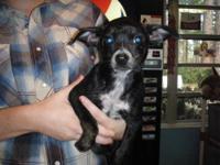 Australian Cattle Dog (Blue Heeler) - Sonny - Medium -