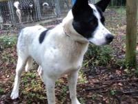 Australian Cattle Dog (Blue Heeler) - Spock - Large -