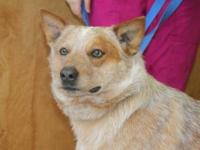 Australian Cattle Dog (Blue Heeler) - Stump - Large -