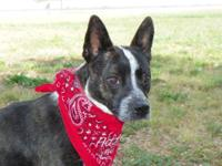Australian Cattle Dog (Blue Heeler) - Tessy 16 Lbs -