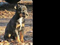 Australian Cattle Dog (Blue Heeler) - Tosha - Medium -