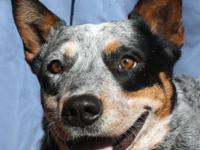 Australian Cattle Dog (Blue Heeler) - -truly Triscuit-
