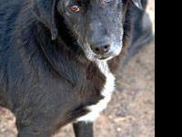 Australian Cattle Dog (Blue Heeler) - Tweed - Medium -