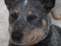 Australian Cattle Dog (Blue Heeler) - Whistler Is Deaf