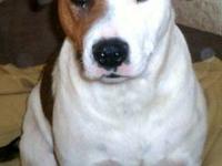 Australian Cattle Dog (Blue Heeler) - Wiley - Medium -